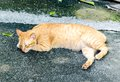 Young ginger stripped cat sleeping with eyes closed on street the Stock Images