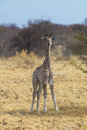 Young giraffe in the african savannah giraffa camelopardalis nxai pan botswana Stock Photography