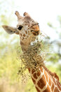 This is a young giraffe eating Stock Image