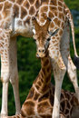 Young giraffe with funny expression Royalty Free Stock Image