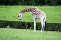 Young giraffe has a juicy green grass Royalty Free Stock Photo
