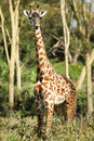 Young giraffe looking camera lake naivasha kenya Royalty Free Stock Images