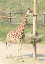 Young giraffe nibbling bole in a zoo Royalty Free Stock Photos