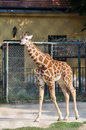 Young giraffe in the zoo Royalty Free Stock Photography