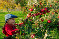 Young girl picking organic Apples into the Basket.Orchard. Royalty Free Stock Photo