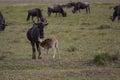 A young gnu calf diking Royalty Free Stock Photo