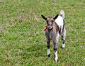 Young goat is on a background a green grass Royalty Free Stock Images