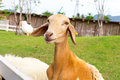 Young goat close up in farm thailand Royalty Free Stock Photo