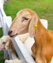 Young goat close up in farm thailand Stock Image