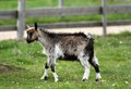 Young goat at the farm cute standing on green grass Royalty Free Stock Photography