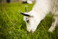 Young goat grazing in a meadow. Royalty Free Stock Photo