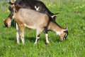 Young goat pasture on a green grass Stock Image