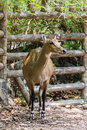 Young goitered gazelle looking suspicious in chiangmai zoo thai Stock Image