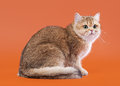 Young golden british cat on nuts brown background male Royalty Free Stock Images