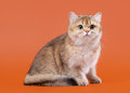 Young golden british cat on nuts brown background male Stock Photo