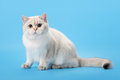 Young golden color point british kitten Royalty Free Stock Photos