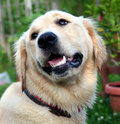Young golden retriever Royalty Free Stock Photo