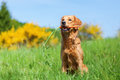 Young golden retriever with a carrot Royalty Free Stock Photo