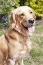 Young golden retriever dog Royalty Free Stock Image