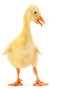 Young goose Royalty Free Stock Photos