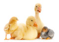 Young goose and chick Stock Image