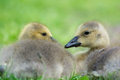 Young gooses laying in grass little baby canada the Stock Photos