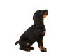 Young gordon setter puppy on white background in studio Stock Images