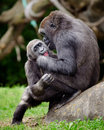 Young gorillas playing two hug while Stock Images