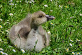 Young gosling eating grass surrounded by field daisies Royalty Free Stock Photo