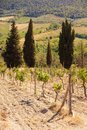 Young grape vines growing with pine trees. Royalty Free Stock Photo