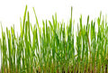 Young grass Royalty Free Stock Photography