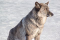 Young gray canadian wolf on white snow. Royalty Free Stock Photo