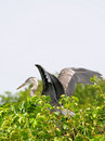 Young Great Blue Heron Royalty Free Stock Photos