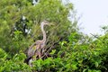 Young Great blue heron in nest in wetland Royalty Free Stock Photo
