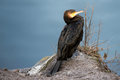 Young Great cormorant Royalty Free Stock Photo