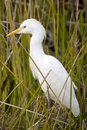 Young Great Egret (Ardea alba) Royalty Free Stock Image
