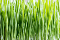 Young green barley grass growing in soil Royalty Free Stock Photo