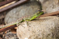 Young green basilisk in Costa rica Royalty Free Stock Photo