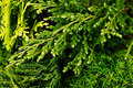Young green branches thuya and junipers macro top view background. Royalty Free Stock Photo