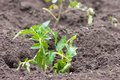 Young green bush of tomato recently planted in the ground Stock Photos