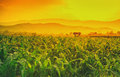 Young green corn field in agricultural garden and light shines sunset Royalty Free Stock Photo