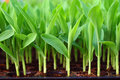 Young green corn, maize, sweet corn seedling in po Royalty Free Stock Photo