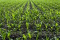 Young green corn plants on farmland Royalty Free Stock Photo