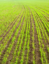 Young green crops of cereals Stock Images