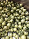 Young green ebony tree fruits, Diospyros mollis, in large stainless steel container Royalty Free Stock Photo