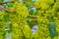 Young green grape bunches of grapes still on the tree Stock Photo