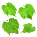 Young green grape leaves on Royalty Free Stock Photo