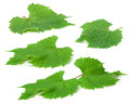 Young green grape leaves Royalty Free Stock Photo