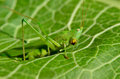 Young, green grasshopper eats the leaves in the garden Royalty Free Stock Photo