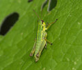 Young green grasshopper on a green leaf Royalty Free Stock Photo